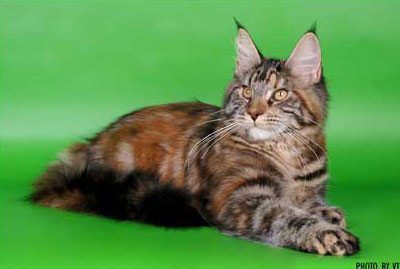 maine coon Favna