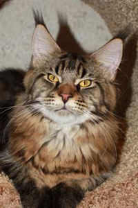maine coon Dirty Dancer